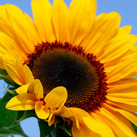 Sunflower: Tips for Growing Tall Sunflowers