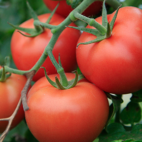 Tomato: Sow and Grow Guide