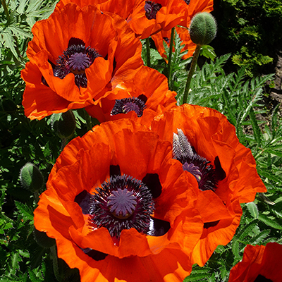 Poppies! A Personal (and Customer) Favorite