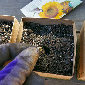 Sowing in Paper Pots
