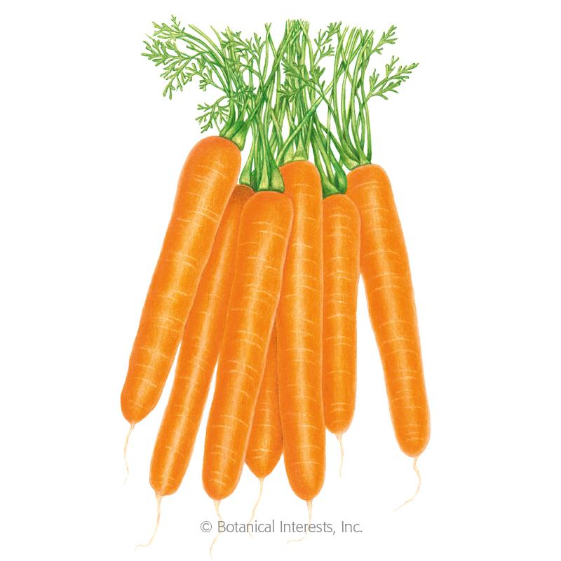 Scarlet Nantes Carrot Seeds