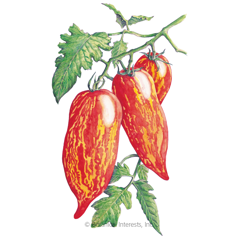 Speckled Roman Roma Pole Tomato Seeds