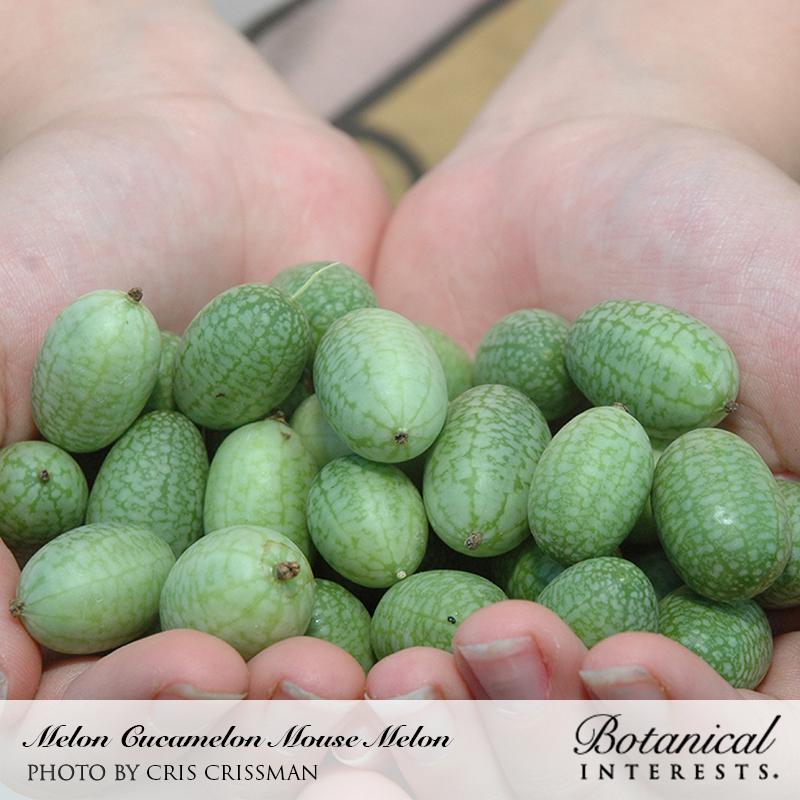 8 Seeds Watermelon Miniature Melothria as Cucamelon H804 Mouse Melon Seeds