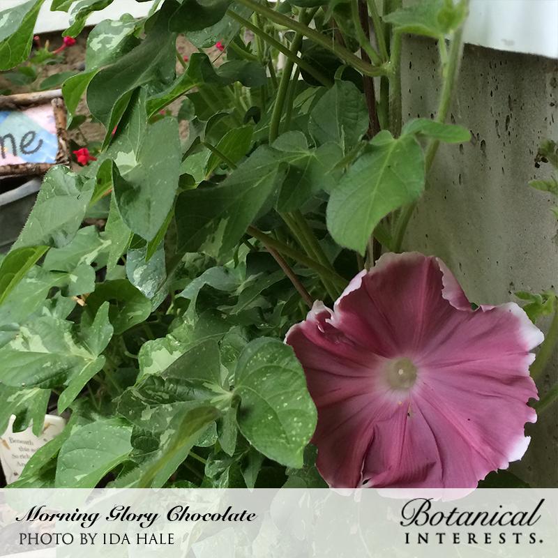 Chocolate Morning Glory Annual Flowering Vine Rare Seeds