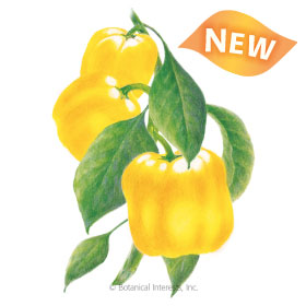 Golden Cal Wonder Sweet Pepper Seeds