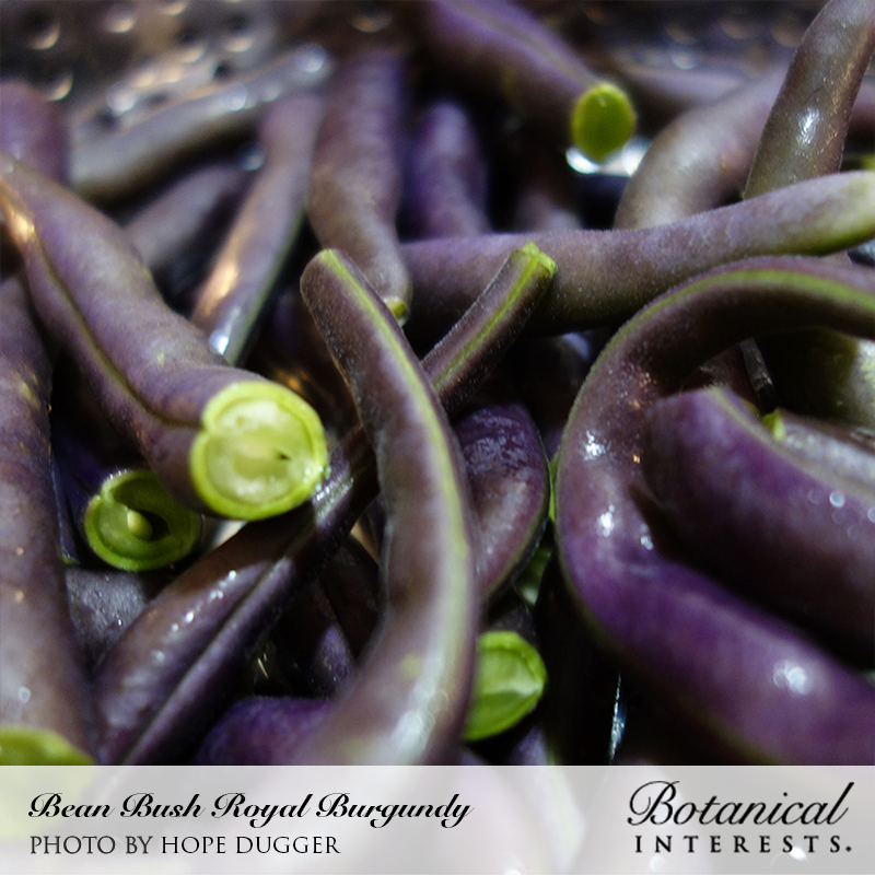 Royal Burgundy Bush Bean Seeds View All Vegetables