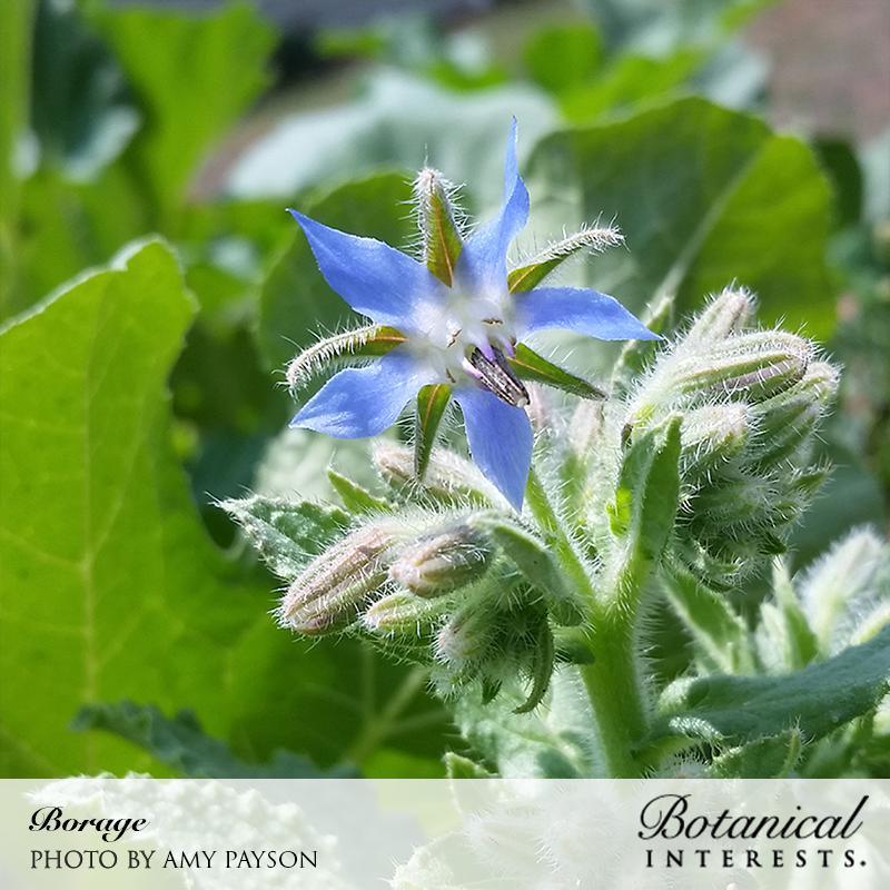 Borage Herb Seeds Hardy Annual Flowering Garden Plants Easy to Grow Your Own 1 Packet of 100 Seeds by Thompson and Morgan