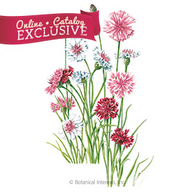 Classic Romantic Bachelor's Button Seeds - Online Exclusive