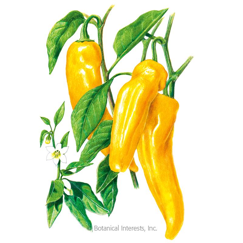 Golden Marconi Sweet Pepper