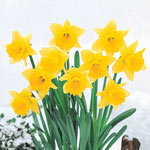 Rijnveld's Early Sensation Daffodil