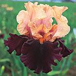 Ocelot Tall Bearded Iris