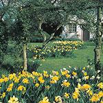 Three Months of Daffodils