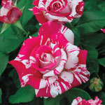 Neil Diamond Hybrid Tea Rose