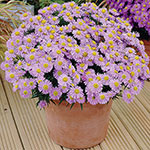 Daisy Aster Collection
