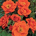 All a'Twitter™ Miniature Rose