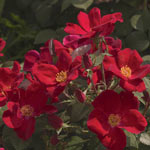 Home Run® Shrub Rose