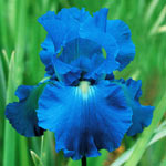 Victoria Falls Reblooming Tall Bearded Iris