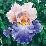 Mother Earth Reblooming Bearded Iris