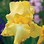 Harvest of Memories Reblooming Bearded Iris