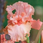 Blushing Kiss Bearded Iris