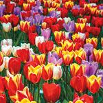 Forever Spring™ Tulip Mixture