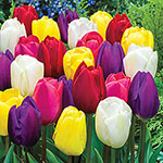 Midseason Tulip Mixture