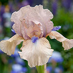 Concertina Reblooming Bearded Iris