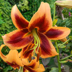 Great Expectations Lily Tree ® Collection
