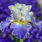 Gilt Edged Bond Bearded Iris