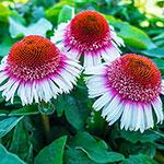 Strawberry & Cream Coneflower