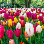 Late Spring Flowering Tulip Mixture