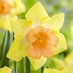 Tom Pouce Daffodil