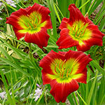 Christmas Is Reblooming Daylily