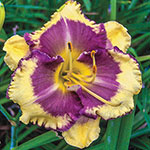 Blueberry Cream Reblooming Daylily