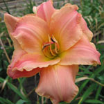 Think Pink Reblooming Daylily