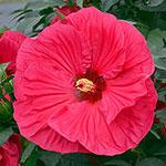 Summer in Paradise Hibiscus