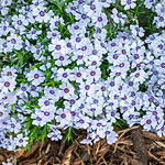 Breck's® Carpet Phlox Collection