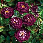 Diamond Eyes™ Garden Miniature Rose