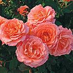 Jump for Joy®  Floribunda Rose