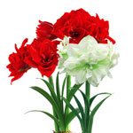 Full and Lush Double Amaryllis Collection