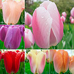 Wow!® PridePerennial Tulip Collection