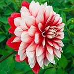 Larry's Love Dahlia
