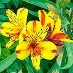 Hardy Majestic Alstroemeria Collection