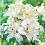 Annemarie's Dream Double Asiatic Lily