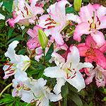 Brasilia Oriental Lily