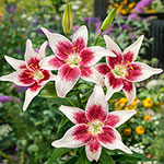 Strawberry and Cream Lily