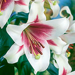 Triumphator Trumpet Lily
