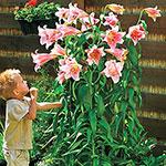 Bellsong Trumpet Lily