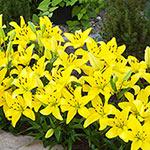 Yellow Carpet Border Lily™