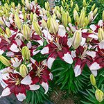 Tiny Padhye Carpet Border Lily™